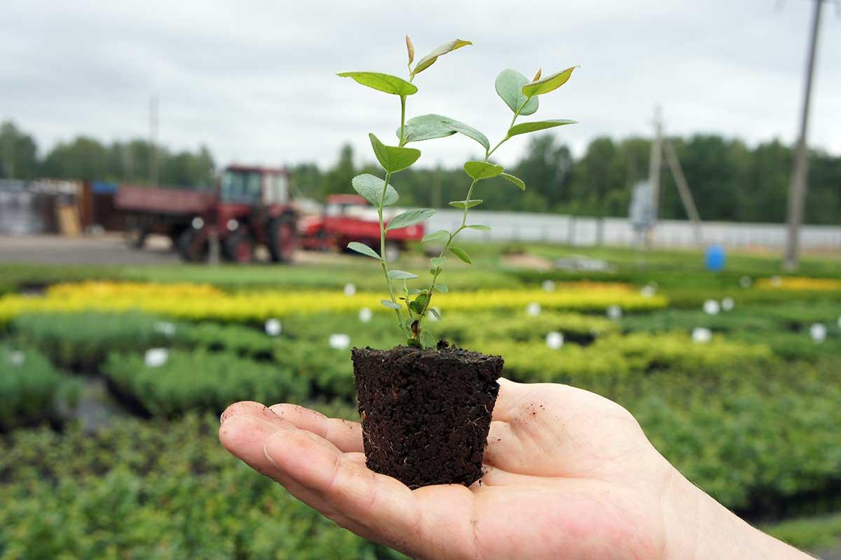 Выращивание посадочного материала 35